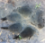 wildsides red wolf track